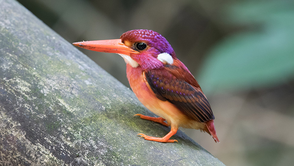 South Philippine Dwarf Kingfisher Photographed For The Very First Time