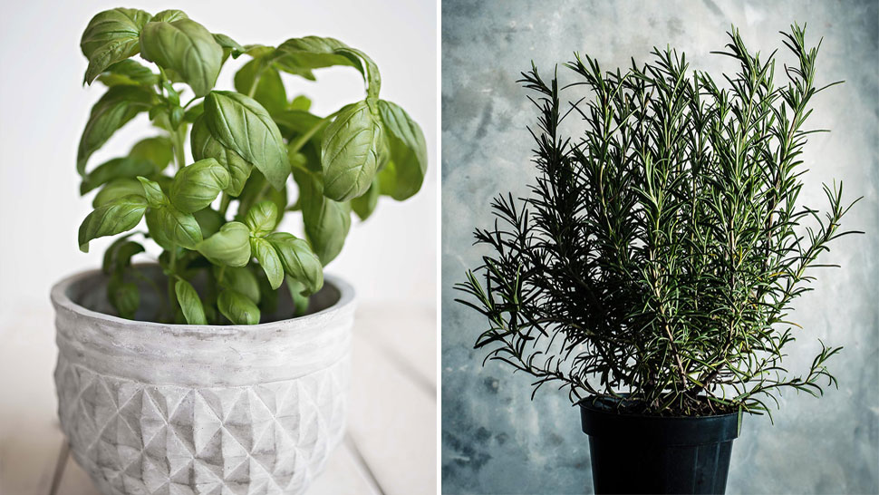 9 Plants That Can Repel Mosquitoes