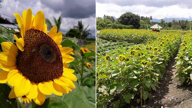 There's a Sunflower Garden Down South and You Have to Visit It ASAP