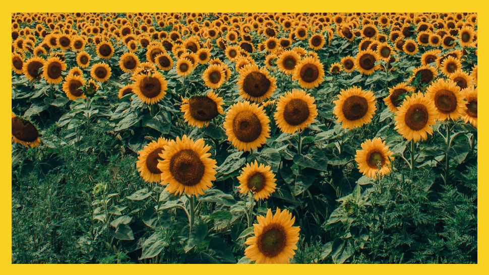 Graduation Rites May Be Canceled, But UP Diliman's Sunflowers Are Here To Stay