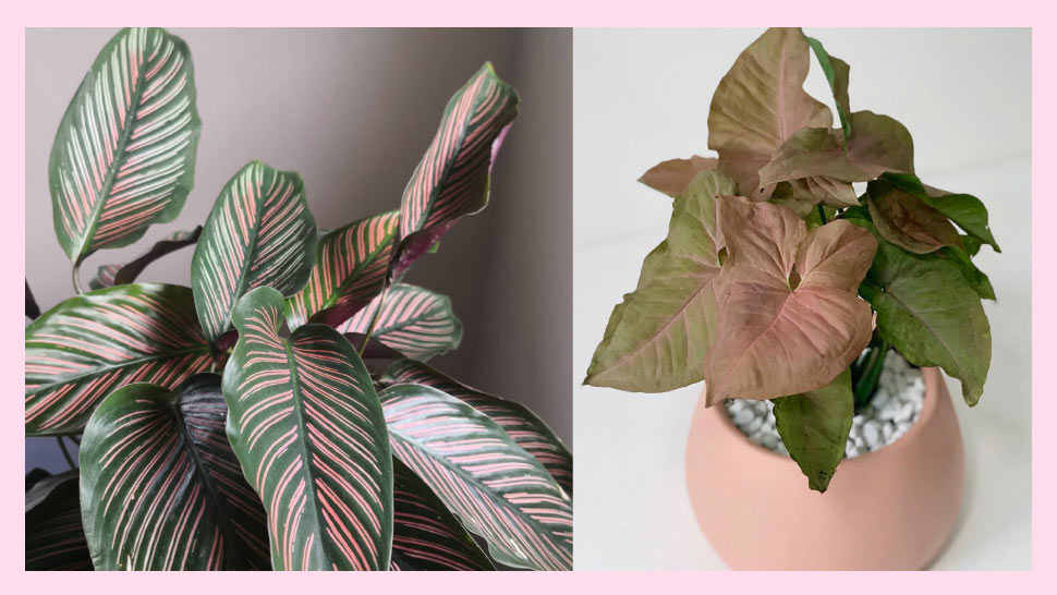 Pink Plants You Can Buy Online For A More Natural Room Aesthetic