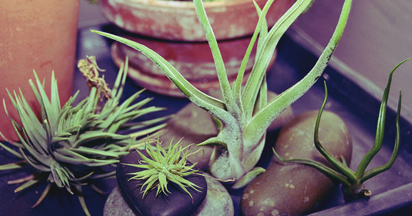 4 Things You Need to Know About Taking Care of Air Plants