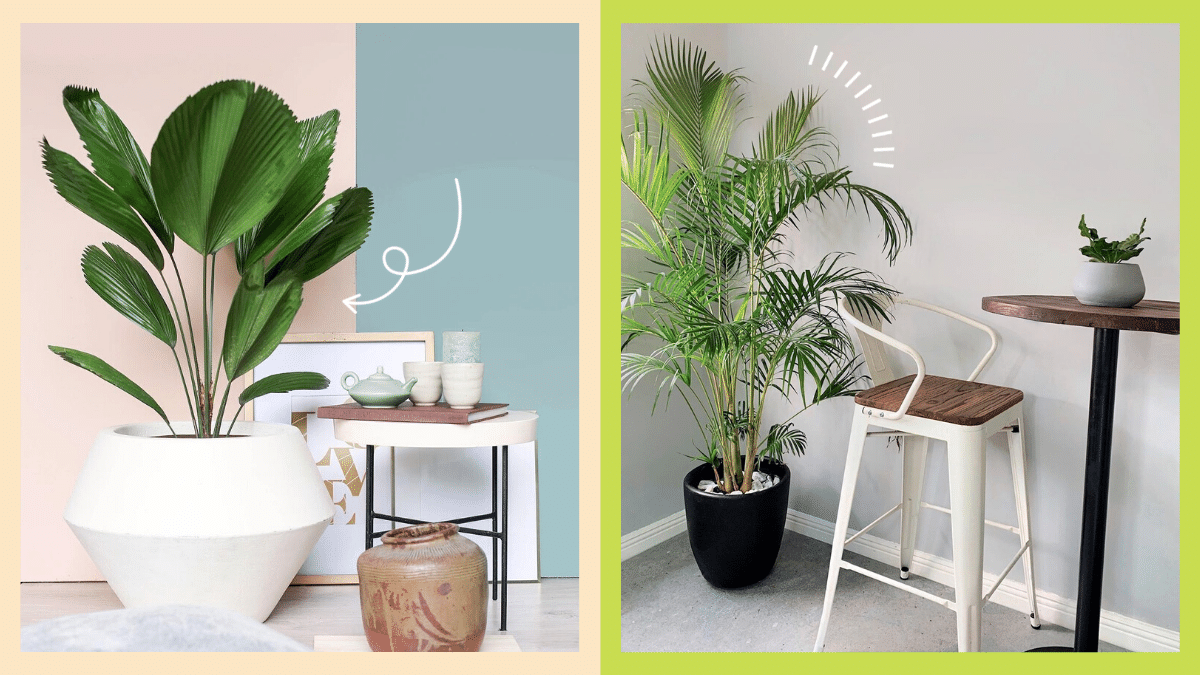 Photos of indoor palm plants.