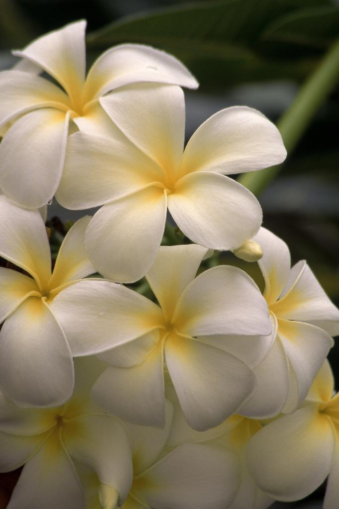 Best Flowering Plant: Kalachuchi