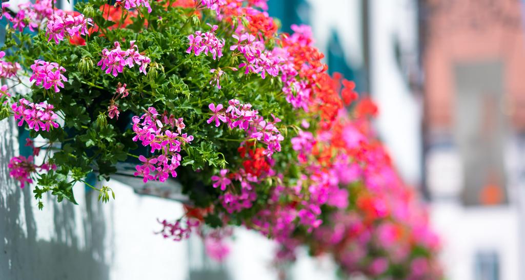 Best Flowering Plant: Santan