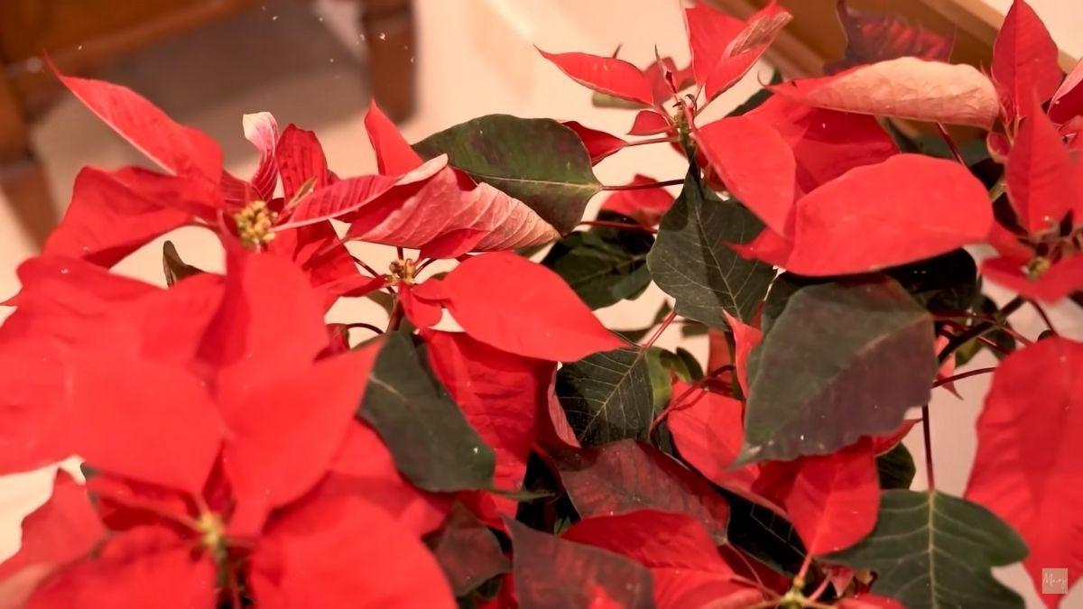 Marjorie Barretto Christmas house tour: poinsettia