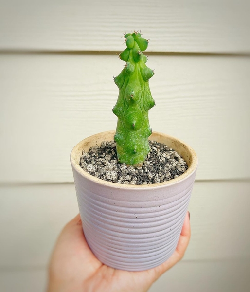 Jolina Magdangal's Plant Corner - Boobsie cactus