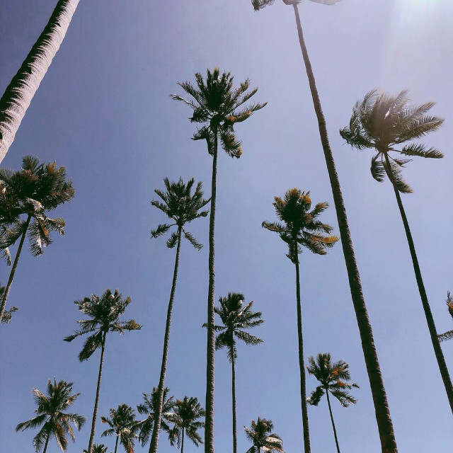 Palm trees photo taken by Nadine Lustre