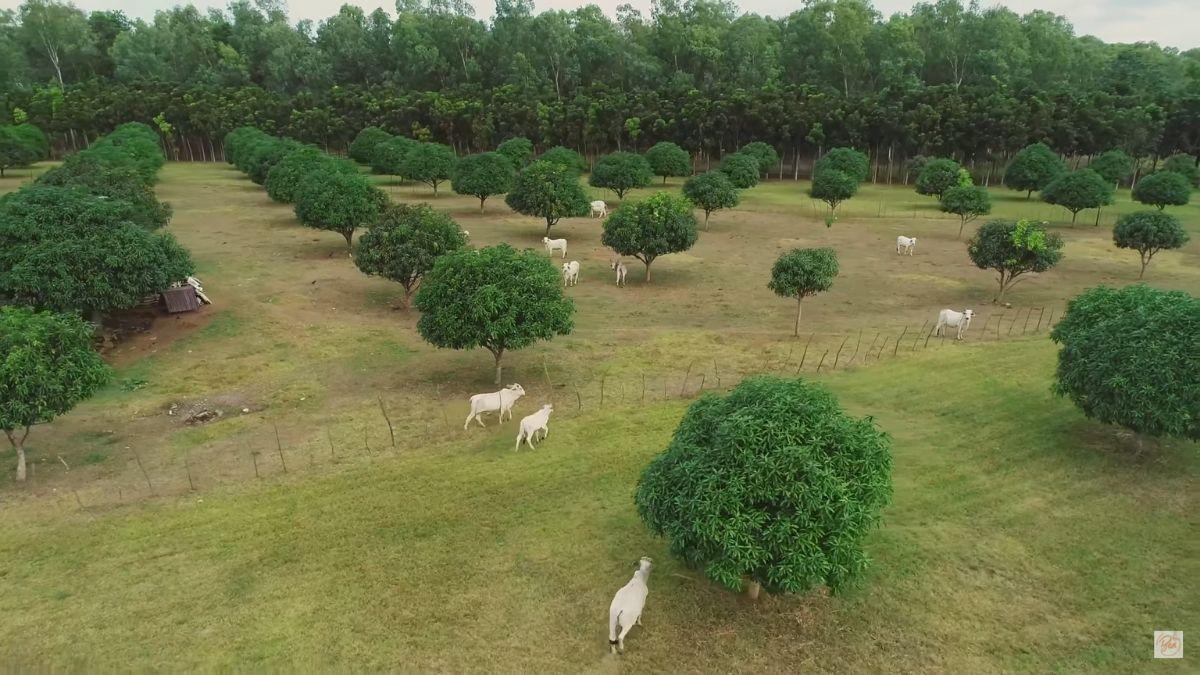 Bea Alonzo's farm in Zambales: cows