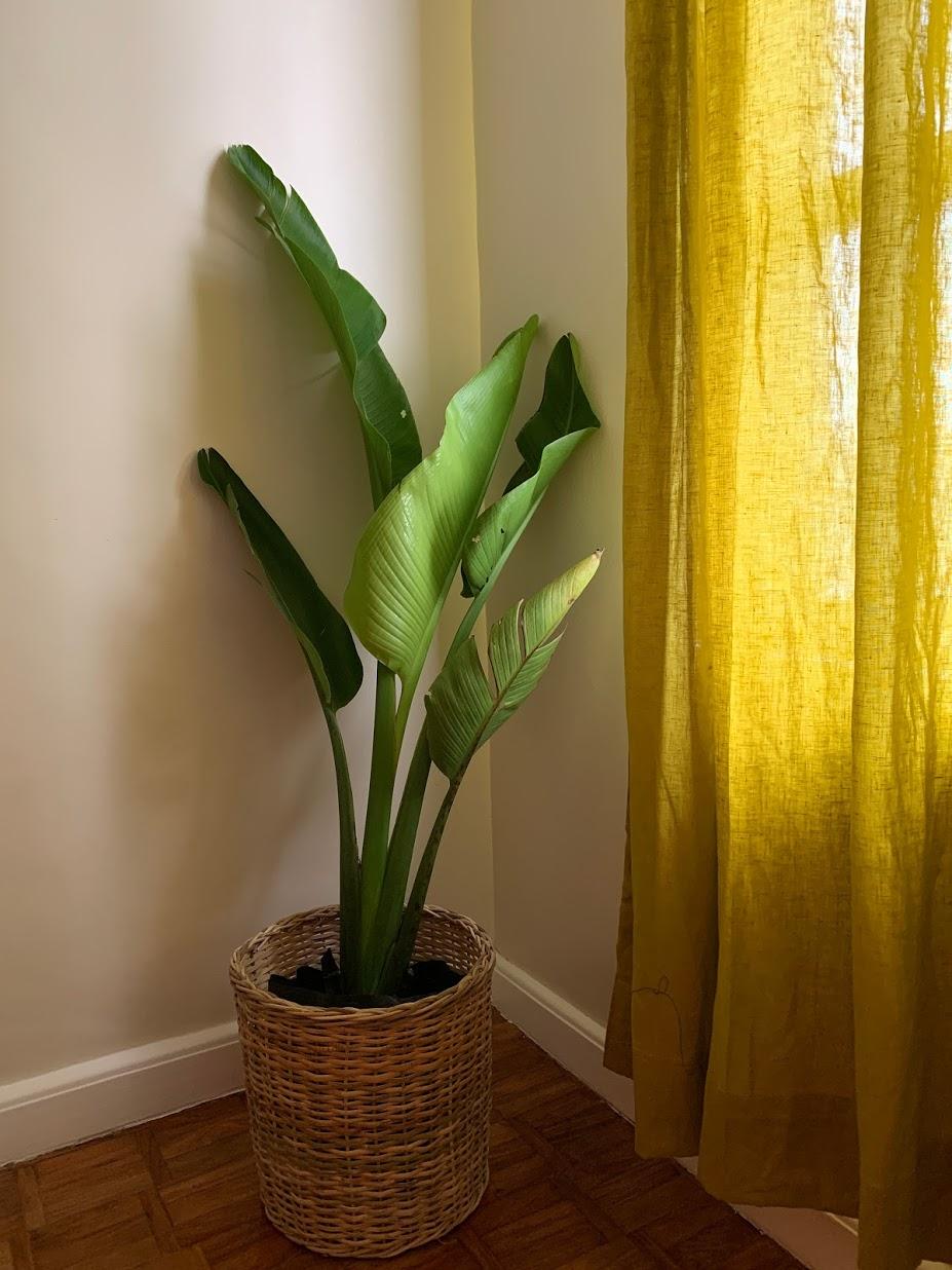 boho-inspired home makeover: palm plant