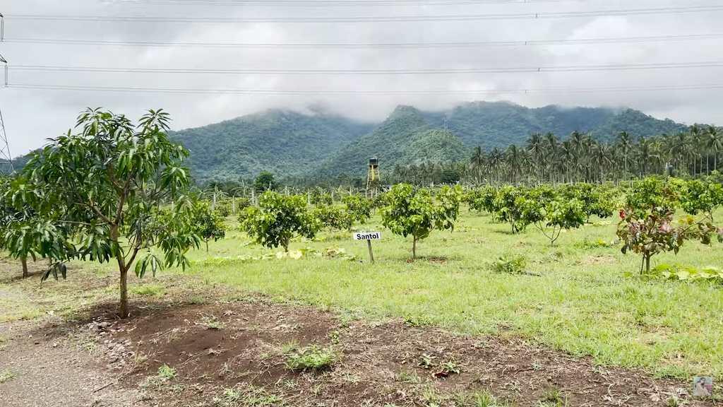 Vilma Santos' farm in Batangas: santol