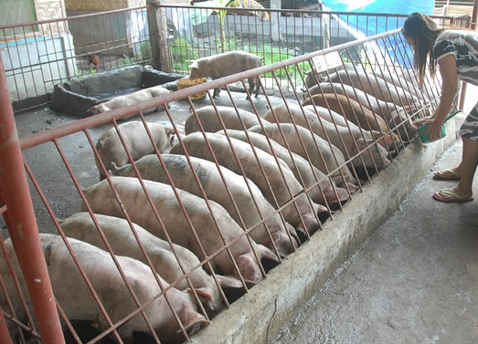 What you need to know about the hog breeding business_1.png