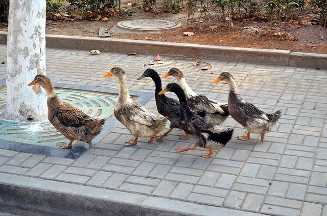 duck_21262_640.jpg