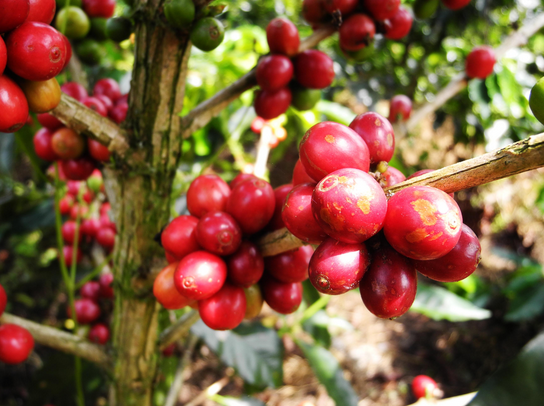 Starting a coffee farm? Here 5 tips to remember