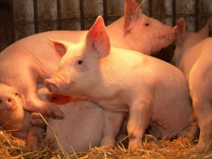 What you need to know about the hog breeding business