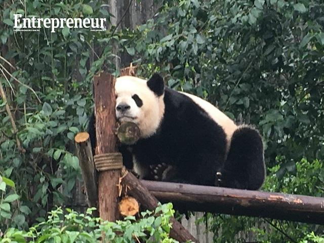 Panda solo