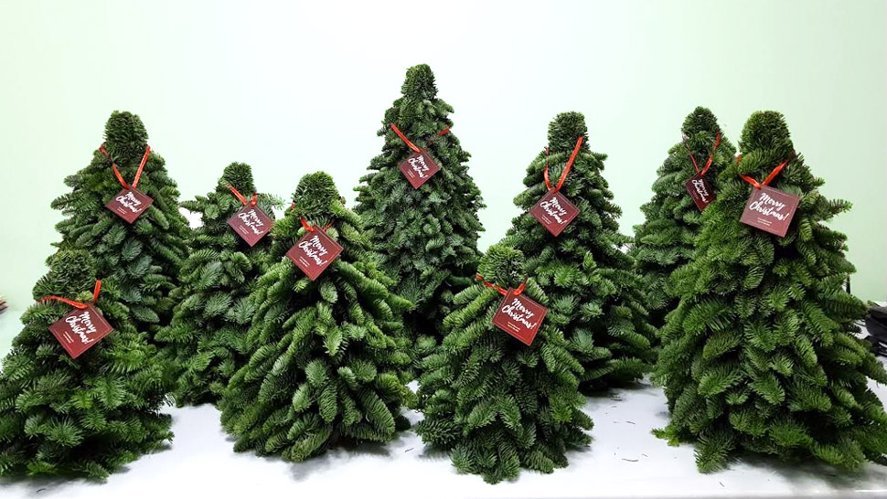 these mini christmas trees come all the way from denmark