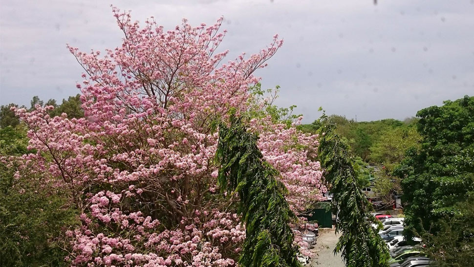 The Philippine Cherry Blossoms Are In Bloom Right Now