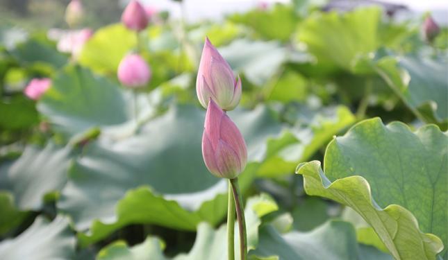 Lotus PCOS