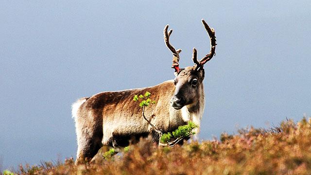 Climate Change Shrinks The Reindeer: 5 Alternatives To Santa's Little Helper