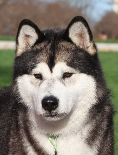 I M 33 And I M The Best Alaskan Malamute Pack Owner Breeder And