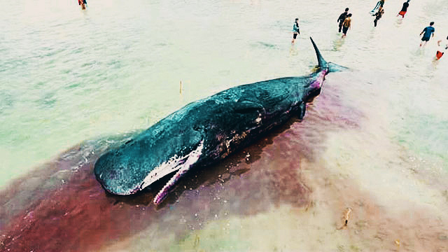 Human Garbage Kills Sperm Whale In Davao