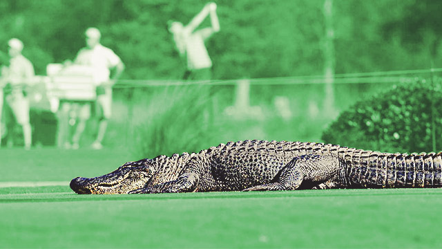 WATCH: Monster Alligator Casually Strolls Through Golf Course