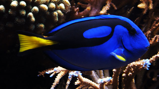 A Blue Tang Shortage Is Imminent Thanks To 'Finding Dory'