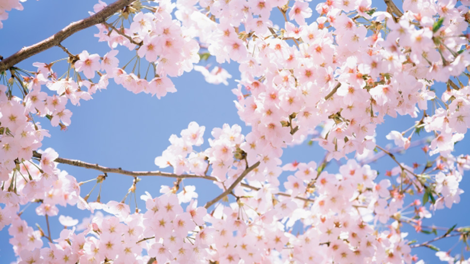 There's Going to be a Cherry Blossom Park in the Philippines
