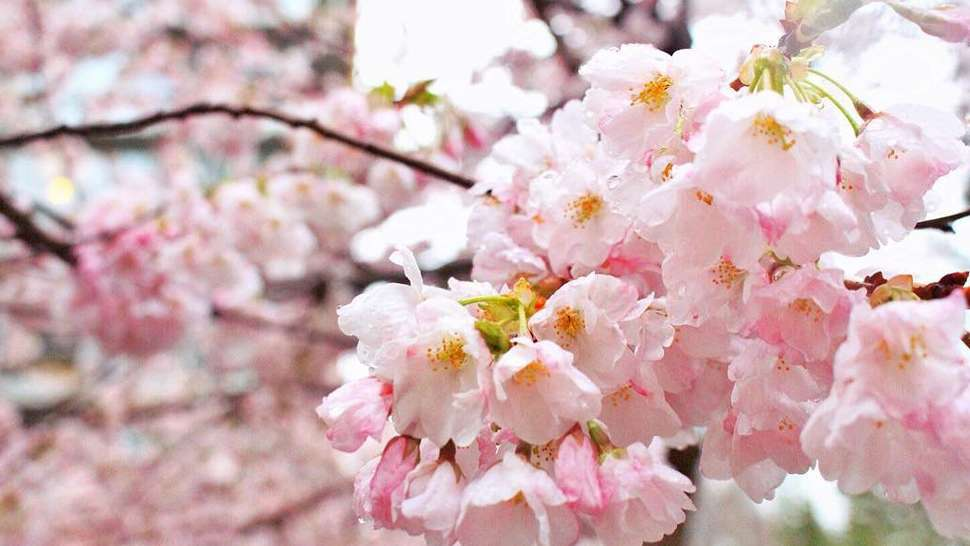 This Place Is the Real Cherry Blossom Capital of the World, Not Japan