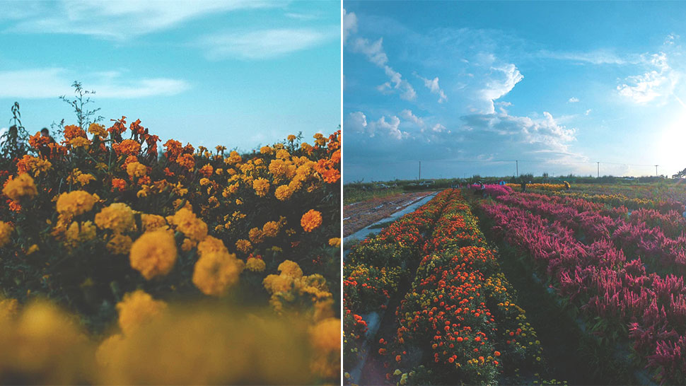 You Have To Visit This Instagram-worthy Flower Farm In Tarlac