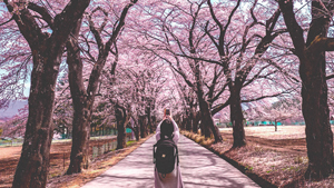 When And Where To See The Cherry Blossoms In Japan This 2020