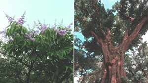 The Most Beautiful Philippine Trees That Can Rival Japan's Cherry Blossoms