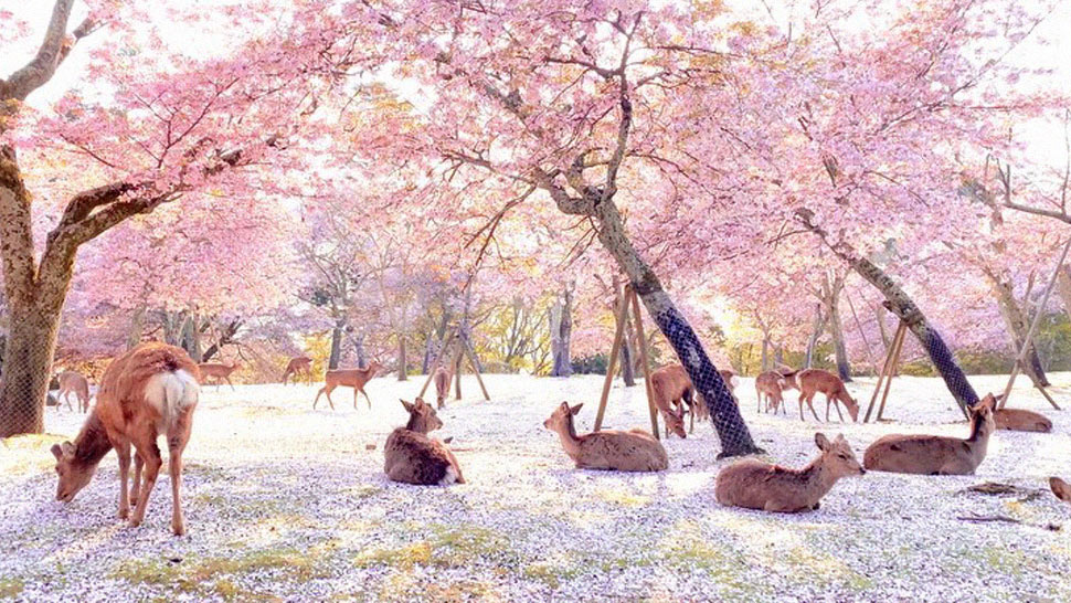 An Empty Nara Park Features the Deer Enjoying the Cherry Blossom Season by Themselves