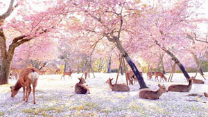 An Empty Nara Park Features The Deer Enjoying Cherry Blossom Season By Themselves