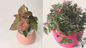 Pink Plants You Can Buy Online For Your Indoor Garden