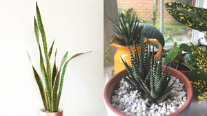 5 Succulents That Don't Need Lots Of Sunlight