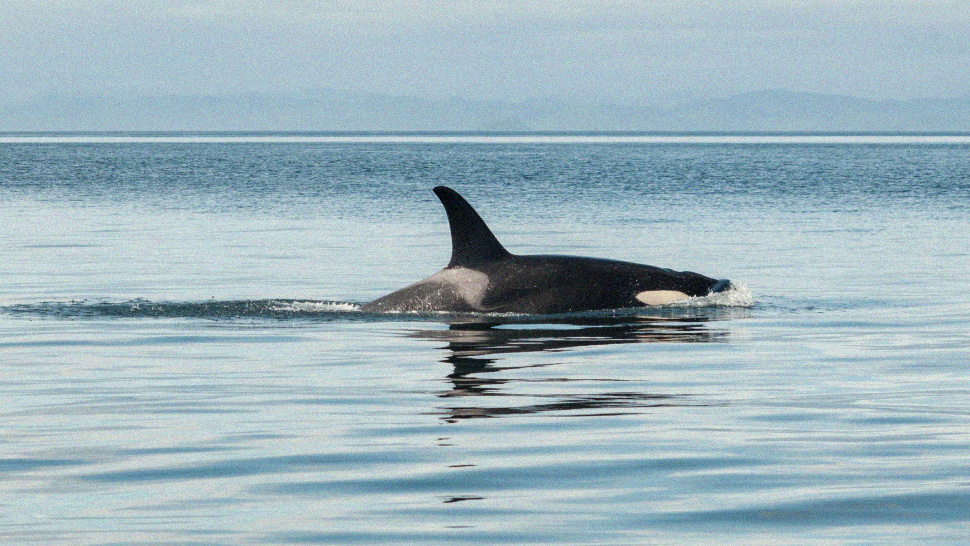 A Rare Sighting Of Killer Whales Was Reported Off The Coast Of Bohol