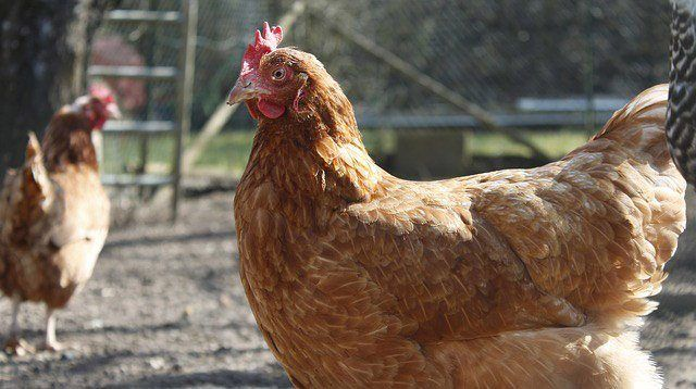 Bird Flu Protection: How to Safely Prepare Chicken Meat and Eggs