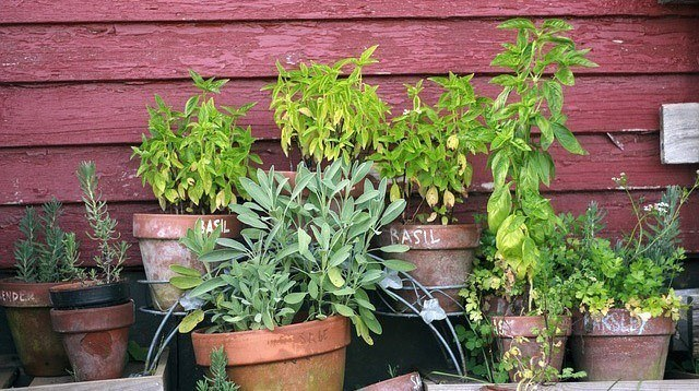 5 Plants to Grow at Home That Can Repel Mosquitoes