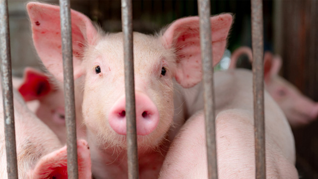 African Swine Fever Now in PH: How to Keep Your Family Safe
