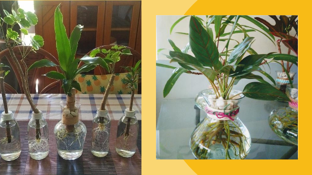 Tamad Magdilig Ng Halaman? You Can't Kill Houseplants With This Method!
