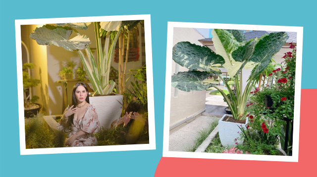 Plantitas Green With Envy After Seeing Jinkee Pacquiao's Plant Worth P20,000