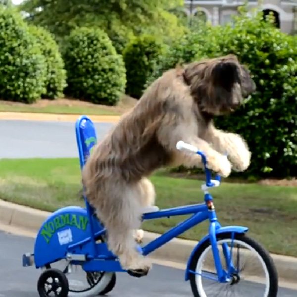 This Made our Day: This Dog is Learning How to Ride a Bike
