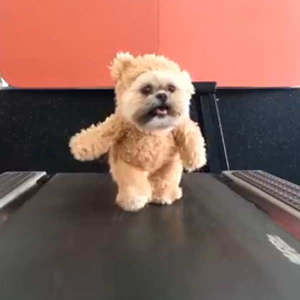 This Made our Day: Dog Dressed as a Bear Walks the Treadmill