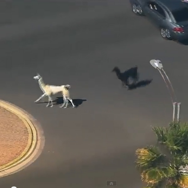 This Made our Day: Two Llamas Do a Tom-and-Jerry Chase with Policemen