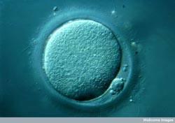 egg cell