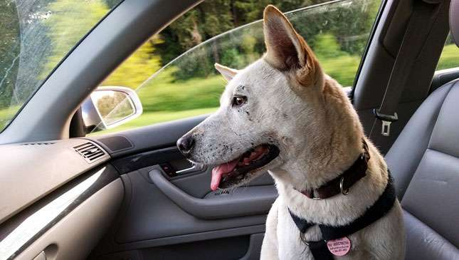 How to keep your dog from eating your car\'s wires